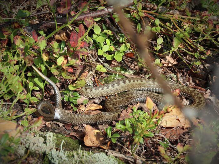 Synnyttävä käärme