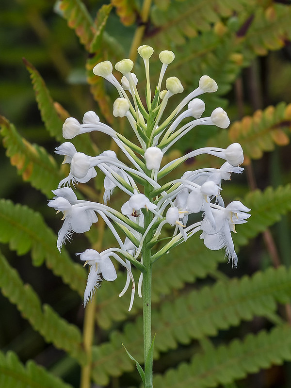 Southern White Fringed orchid