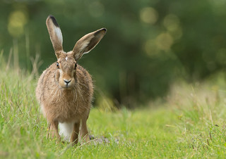 Brown Hare | by Wouter's Wildlife Photography