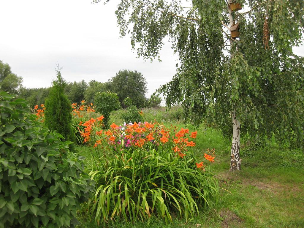 Оранжевый лилейник