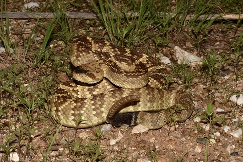 Black-tailed Rattlesnake (Crotalus molossus) | by mitchberk