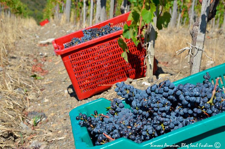 Uma da experiência que você não pode deixar de fazer estando nessa região durante o período da colheita: ir colher as uvas como um local!