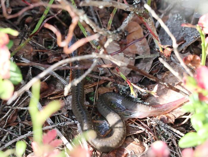 Käärmeenpoikanen
