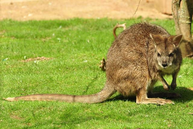 Wormer Tiergarten Wellensittiche Freifluganlage Voliere Australien-Voliere ... hier: Parma-Känguru ... Foto: Brigitte Stolle, Mannheim