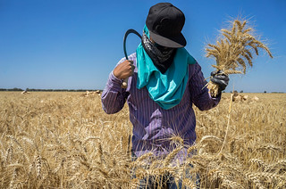 Field hand using a sickle to harvest wheat | by CIMMYT