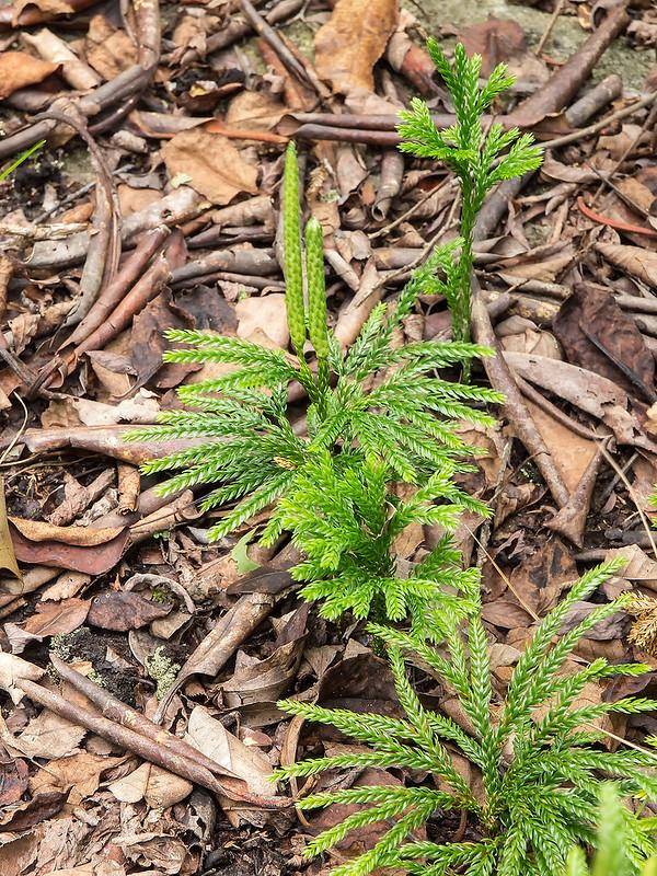 Common tree-clubmoss