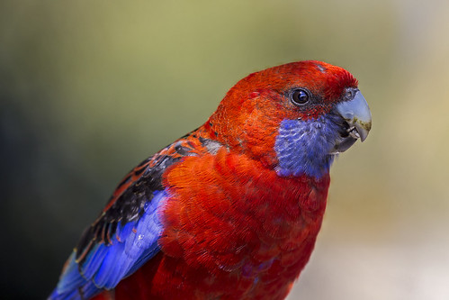 crimson rosella (4) | by bidkev1 and son (see profile)