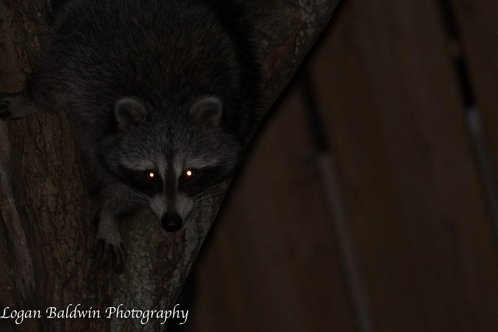 ... Raccoon In My Backyard | By ZombiesniperJr