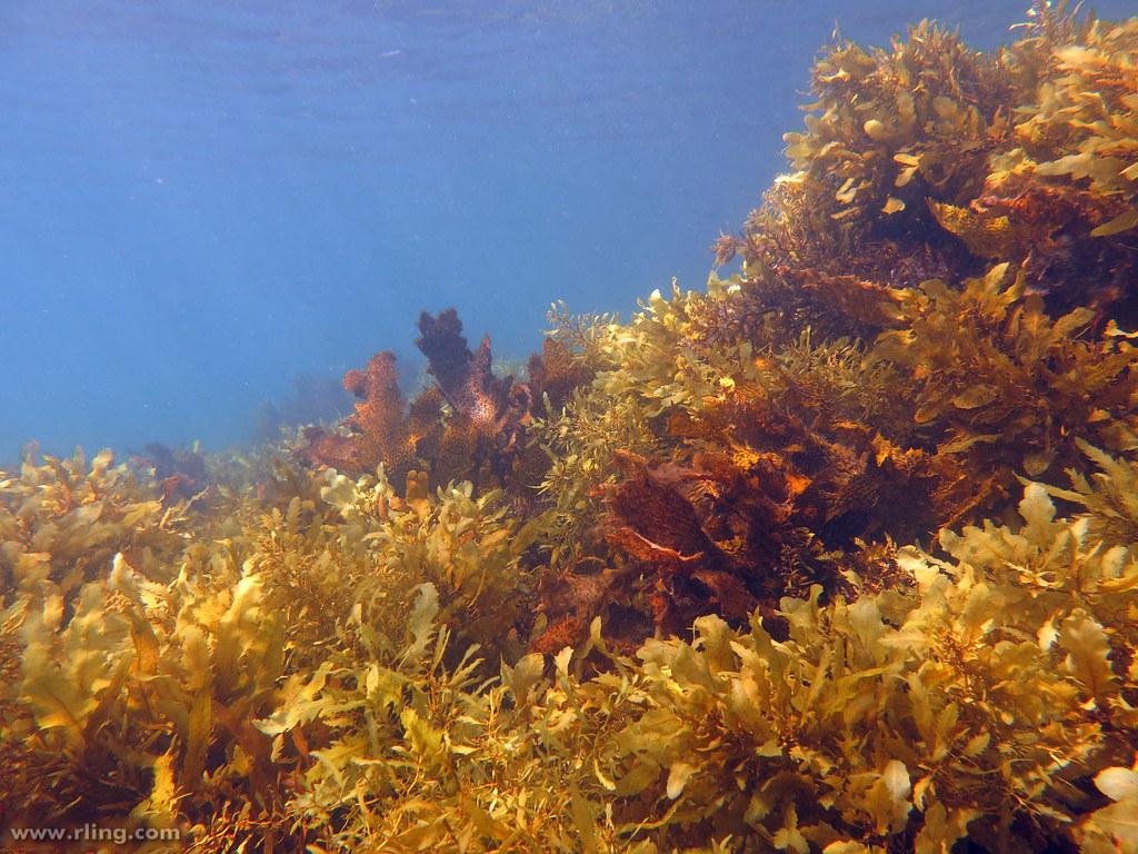 公海裡的馬尾藻(sargassum)是許多物種賴以為生的棲地環境。圖片來源:Richard Ling(CC BY-NC-ND 2.0)
