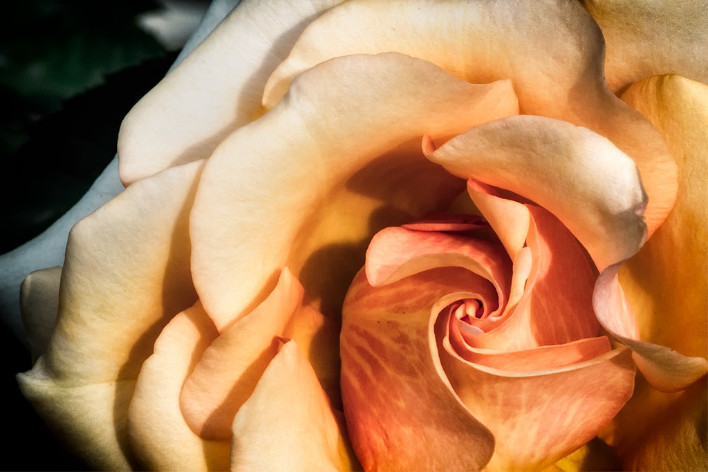 Vortex: Rose Close-up