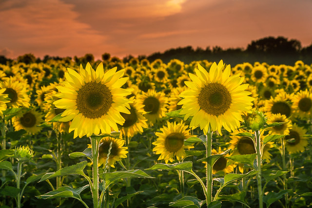 Sunflower, Sunflowers, Sunflower Field, Sunset