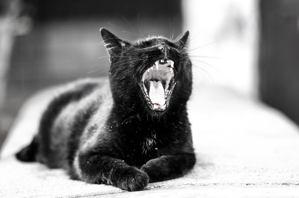 Fade To Black Gran Canarian Lazy Cat Yawning When The Eve Flickr