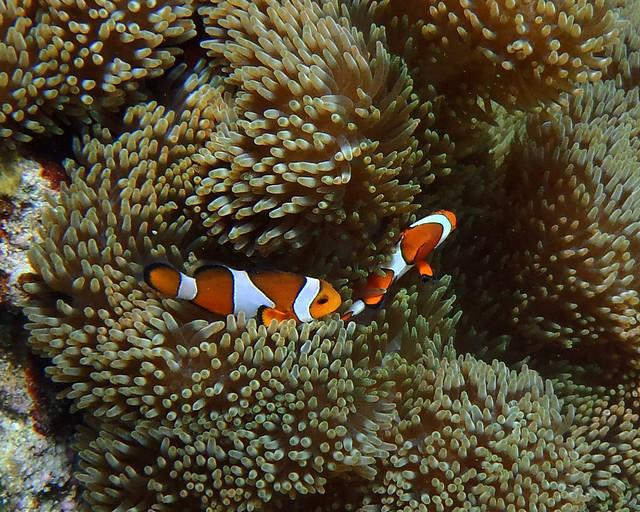Peces payaso en las anemonas mientras hacíamos snorkel en Balicasag