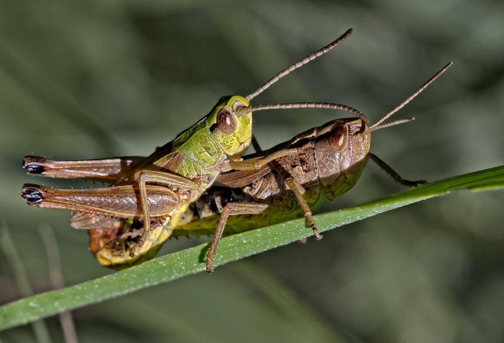 Grasshopper In Love The Grasshopper Spirit Animal Is A Sym Flickr