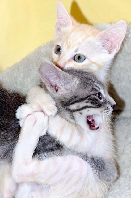 Benny, gatito Azul Ruso Tabby muy guapo y bueno, nacido en Julio´17, en adopción. Valencia. ADOPTADO. 36126508964_365159e8ea_z