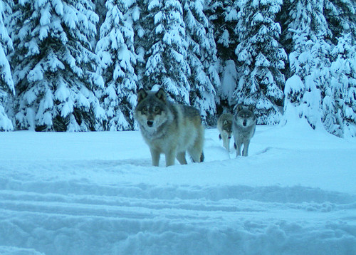 170113 ww odfw three wolves from the walla walla pack in for Oregon department of fish and wildlife jobs