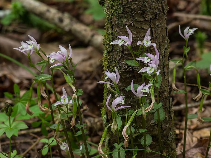 Three-birds orchids