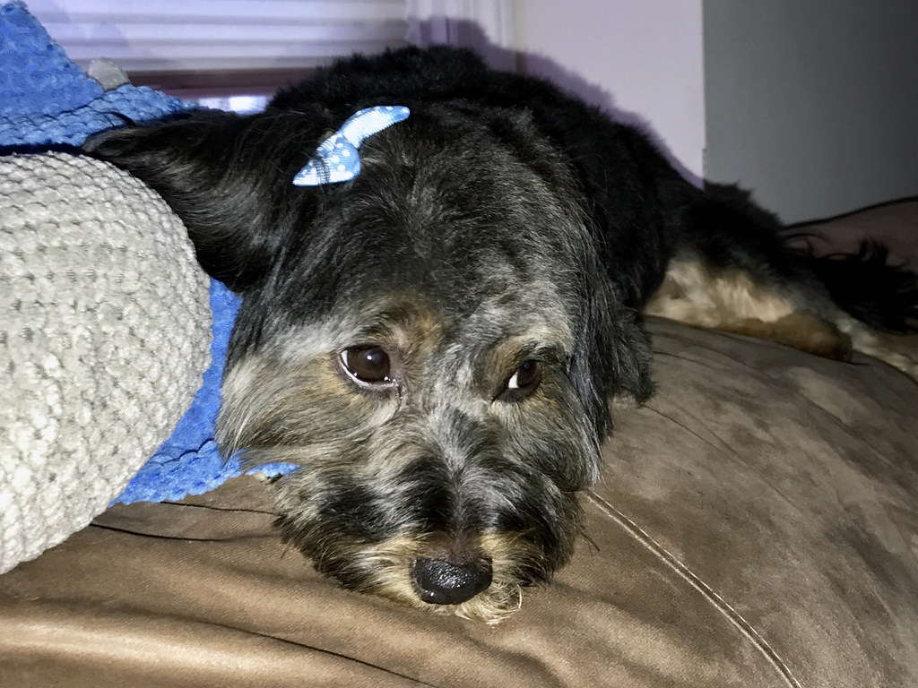 Picture Of Mandy A Yorkie Mix Taken After Grooming On Satu Flickr