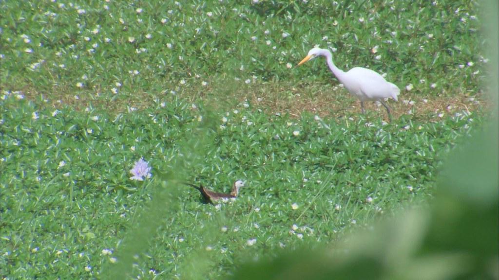 923-1-29 美濃愛鄉協進會理事長劉孝伸,租下一片土地,改造成濕地,已有水雉繁殖,保育獲得成效。