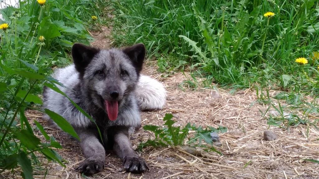 從養殖場逃出來的藍狐Otto,雙腳呈外八字。圖片來源:行動亞洲研究員龍緣之提供。
