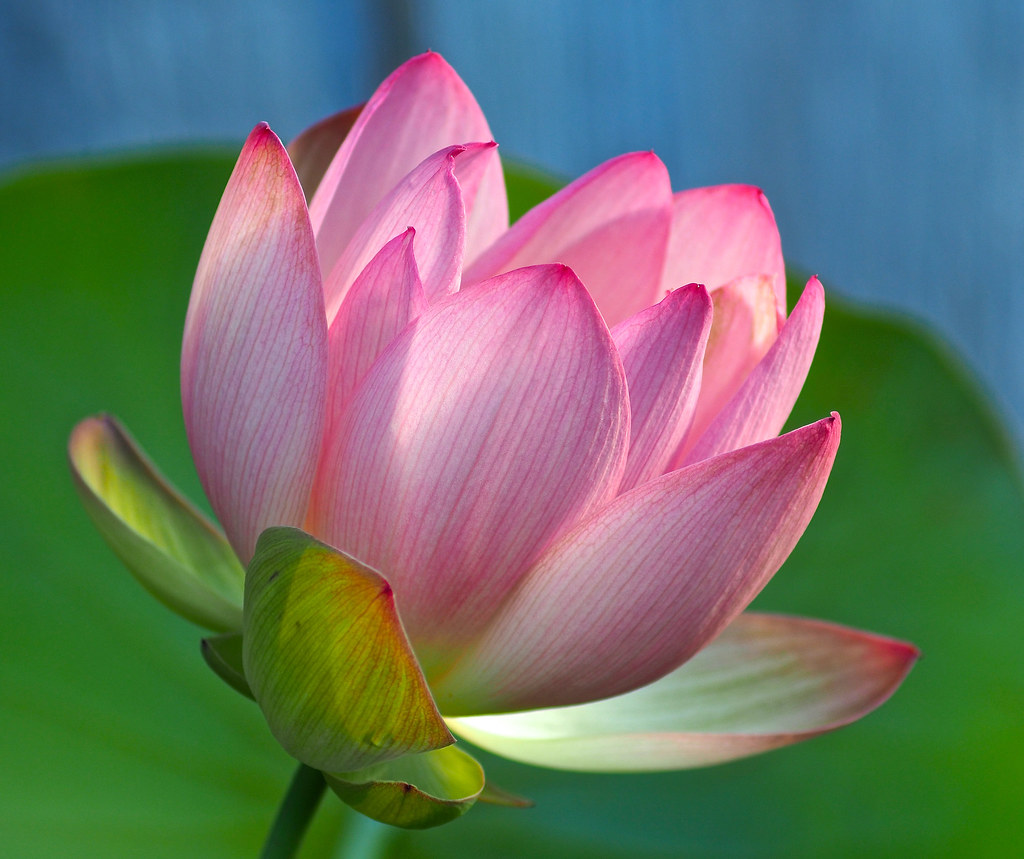 Late blooming lotus flower rbgphoto flickr late blooming lotus flower by rbgphoto izmirmasajfo