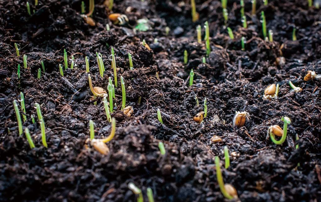 你看過小麥種子發出綠色嫩芽的樣子嗎?圖片來源:玉山社出版公司。