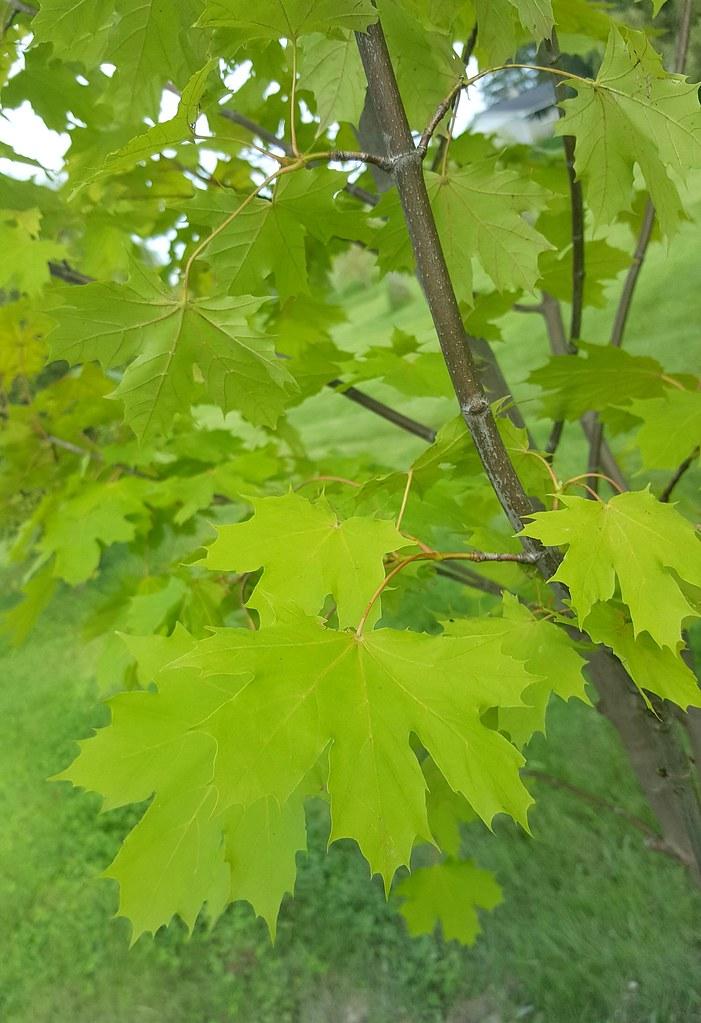 Princeton Gold Norway Maple