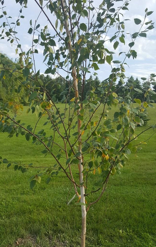 White Birch (Jacquemontii)