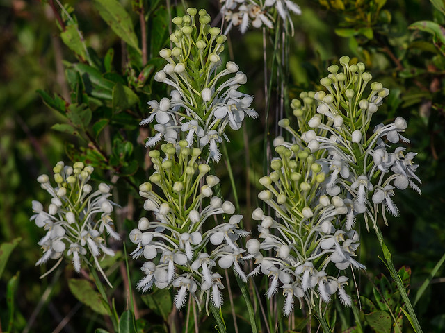 Southern White Fringed orchids