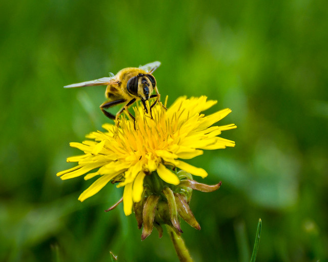 Dandelion, Bee, Flower, Macro, Yellow, Green