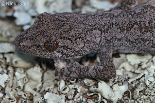 Southern spiny-tailed gecko (Strophurus intermedius | by Nick Gale