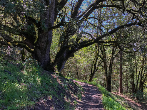Russian Ridge/Ancient Oaks Trail | by Dipika Bhattacharya