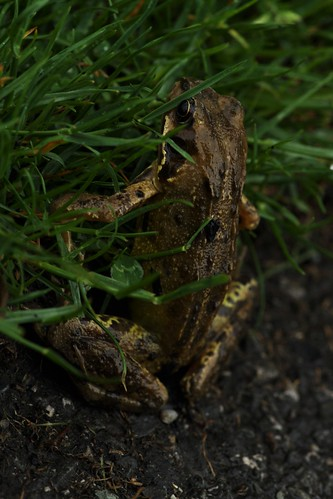 Common Brown Frog | by firefly041300