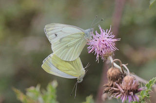 Green-veined Whites on my transect | by paul.anthony.cross