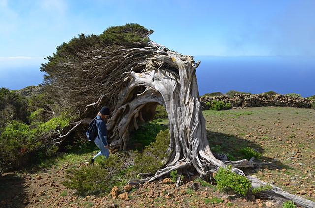 Sabine tree, El Hierro