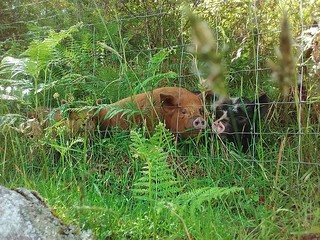 Pigs in ferns