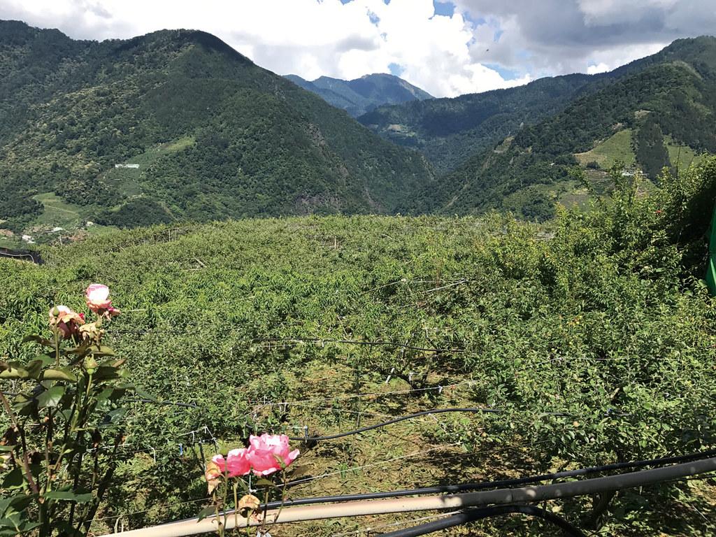 喻嘉璧的蘋果園就在李子園下方,十一、十二月即將採收。(攝影/邱妍菩)