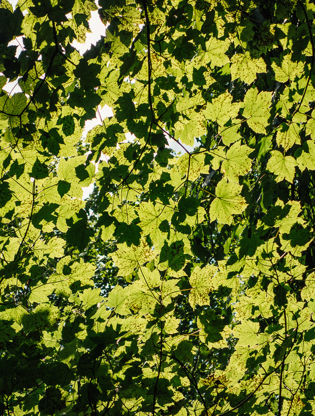 sun shining through green leaves