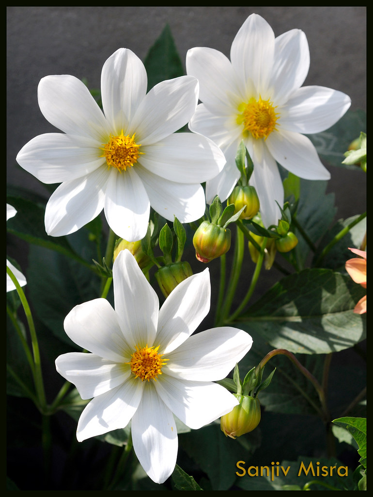 Good morning with fresh flowers sanjiv misra flickr good morning with fresh flowers by sanjiv misra artimages mightylinksfo