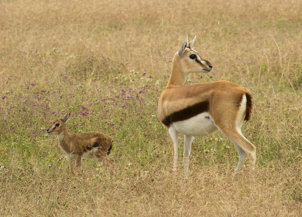 thomson s gazelle eudorcas thomsonii mom and newborn faw flickr