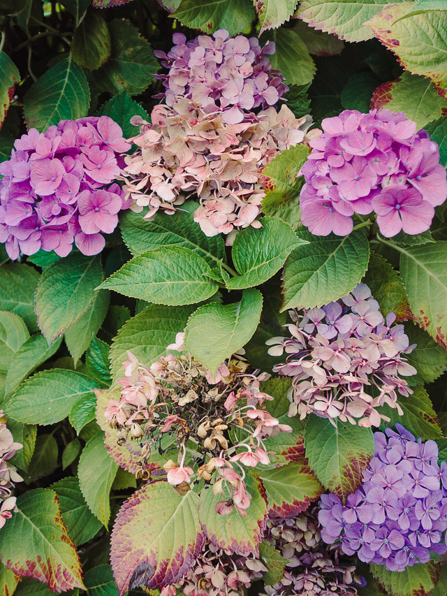 pink and purple hydrangea
