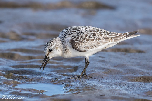 Sanderling | by Scrumhalf