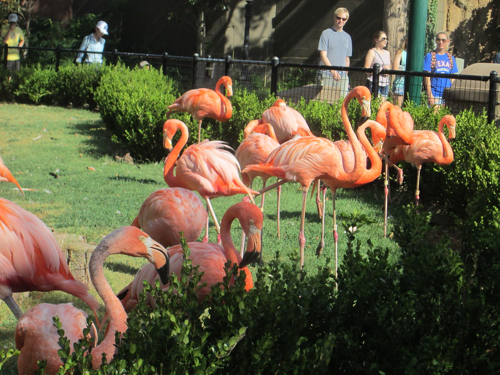 flamingos, oklahoma city zoo