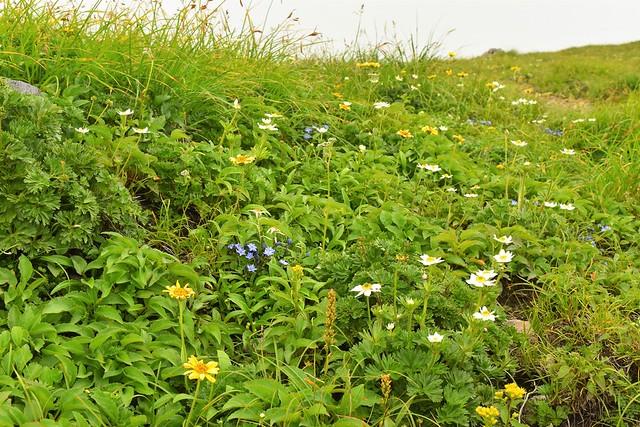 月山山頂のお花畑
