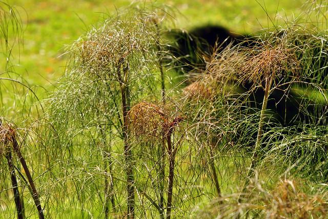Fenchel (Foeniculum vulgare) ... Brigitte Stolle