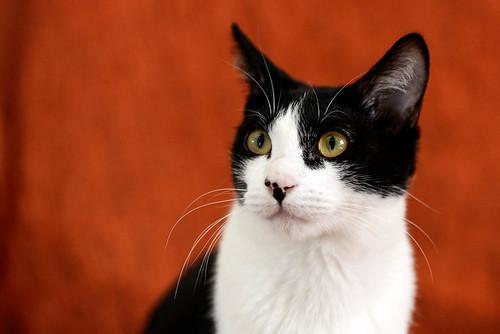 Cloud, gatito blanquinegro megadulce y guapo esterilizado, nacido en Enero´17, en adopción. Valencia. ADOPTADO. 36531064844_860f12499e