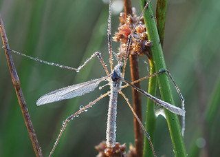 P9100027_Cranefly in dew | by tobyjug5