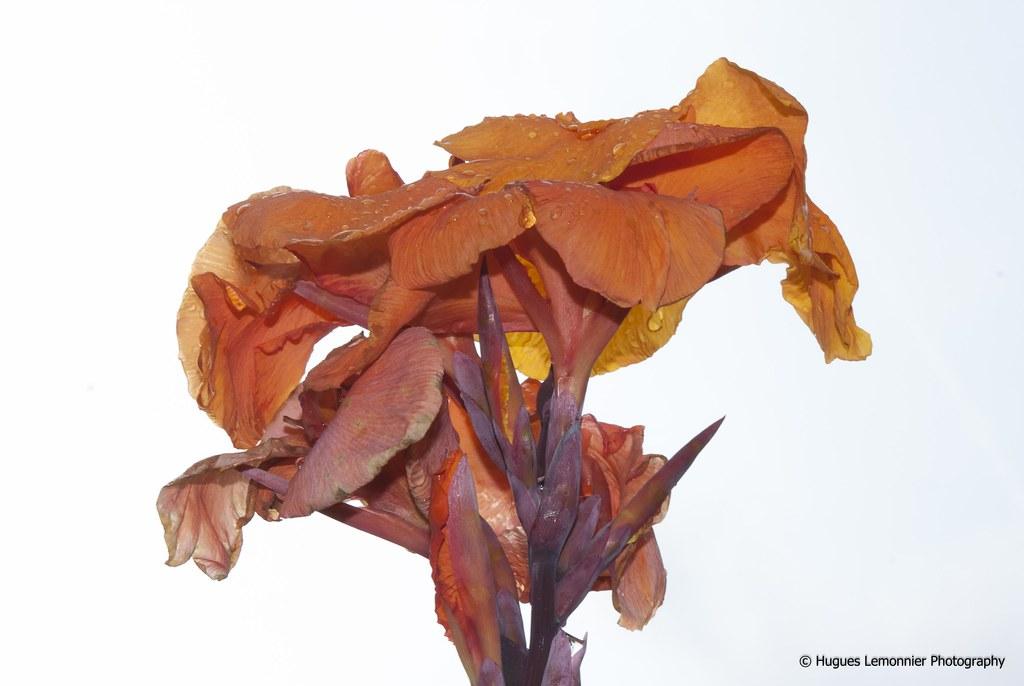 Fleur Qui Fane Fleur De Canna Hugues Lemonnier Flickr