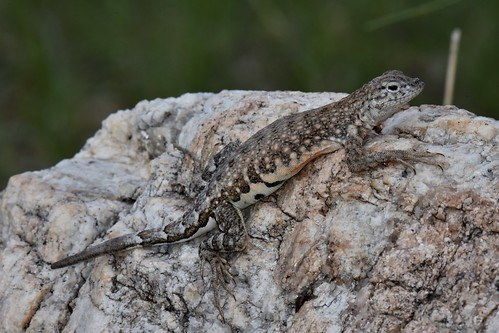Greater Earless Lizard (Cophosaurus texanus), female | by mitchberk