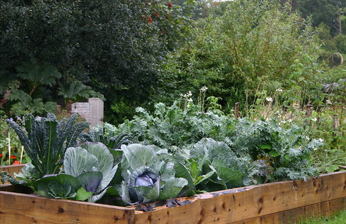 brassica raised bed | by janekelly-gildingthelily